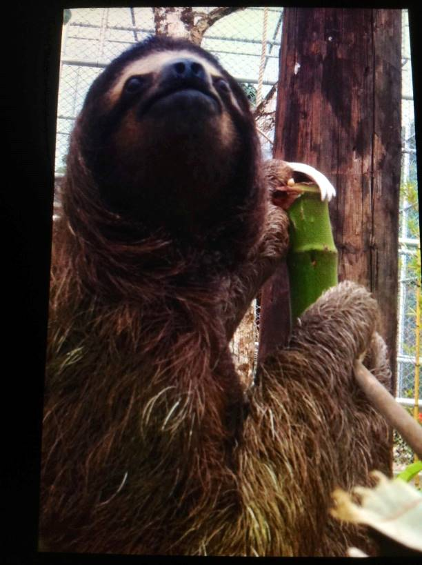 Hagrid the Sloth at Safaricks Zoologico